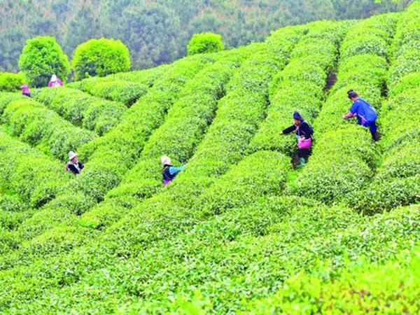 茶农抢抓农时采摘春茶