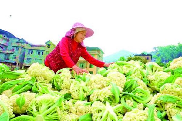 农户抓农时采收花菜
