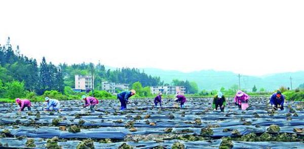 黎平县大力发展坝区特色种植产业