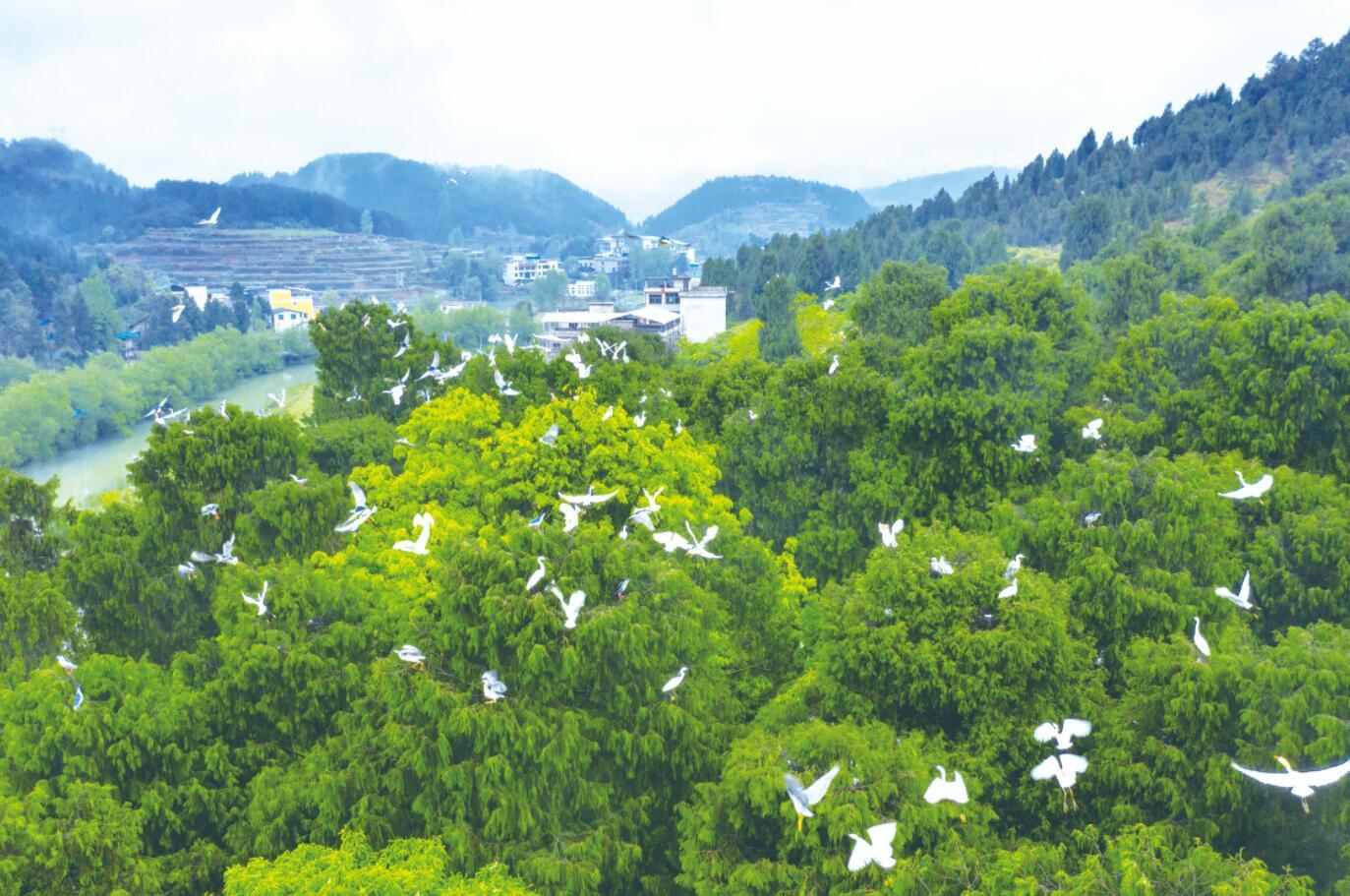 绿水青山伴鹭飞
