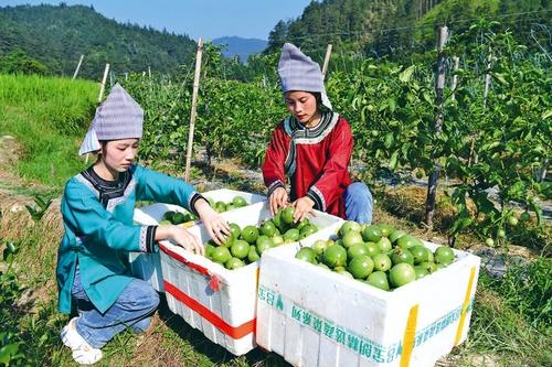 百香果助农增收